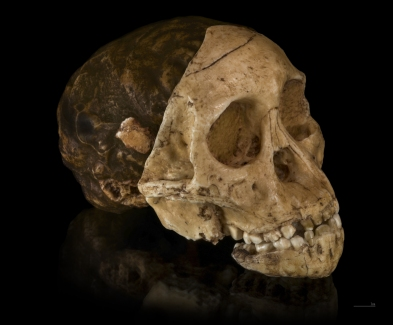 Taung Child (Australopithecus africanus)