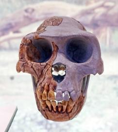 Ardipithecus ramidus-A possible hominid