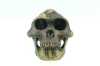 Australopithecus afarensis-A gracile australopithecines