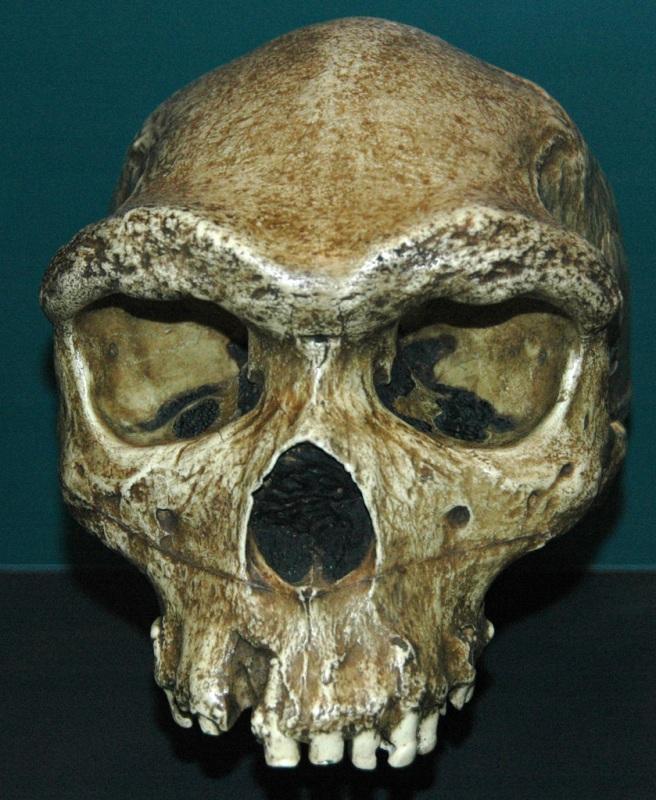 Homo hidelbergensis- An early Homo